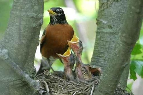 Robin with Two Babies - 18