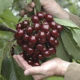 Cherry 'Stella' 7.5L potted tree