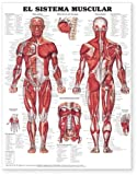 The Muscular System Anatomical Chart in Spanish (El Sistema Muscular) Anatomical Chart Company