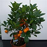 Cross Common Nursery Citrus Orange 'Calamondin' Large Bush