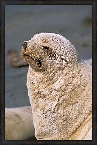 White Seal, South Georgia, Sub-Antarctica by Martin Zwick / Danita Delimont Framed Art Print Wall Picture, Espresso Brown Frame with Hanging Cleat, 26 x 38 inches