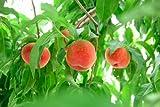 山梨県産 西野白桃5キロ(16~18玉) 糖度14度以上 甘く香り高い山梨の桃  【お中元】 ランキングお取り寄せ