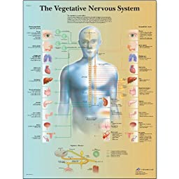 3B Scientific VR1610UU Glossy Paper The Vegetative Nervous System Anatomical Chart, Poster Size 20\