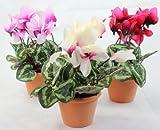 Mini Alpenveilchen Veilchen Blume Kunstblume Kunstpflanze Seidenblume weiß rosa purpur