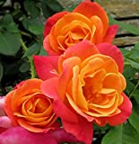 "Fragrant Bloomers Grandiflora Rose Plant - Yellow & Orange, Nice 12-18"" Tall Rose Plant"