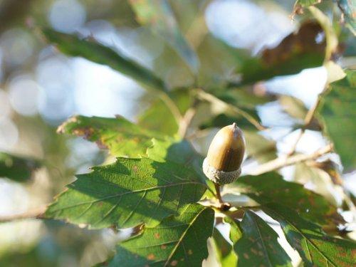 【6か月枯れ保証】【山林苗木】コナラ 0.3m 【即日発送対応】