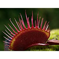 Red Dragon Venus Fly Trap Plant - Dionaea - Akai Ryu - 3