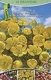 40 Zwiebel Eranthis hyemalis