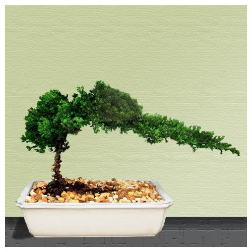 Bonsai Tree live Juniper House Plant Indoor Hooseplant New ...