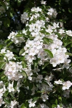 malus-crab-apple-tree-butterball-in-a-12-litre-pot