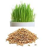 alkarty 100 wheatgraas seed