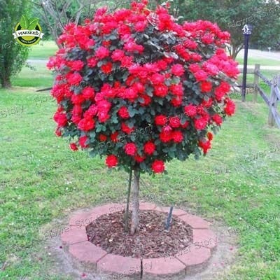 50-red-rose-tree-seedsgorgeous-bright-colored-diy-home-garden-potted-balcony-yard-flower-plant