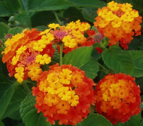 garten wappenblume mit 5 buchstaben