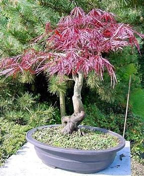 Buy Inaba Shidare Japanese Maple 6 Seeds – Acer – Bonsai – FREE SHIPPING ON ADDITIONAL HIRTS SEEDS