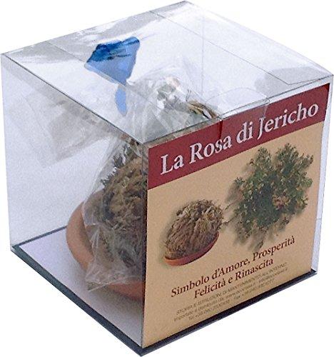 rosa-di-jericho-jerico-gericho-gerico-salaginella-lwpidophylla