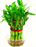 Green plant indoor 2 Layer Lucky Bamboo Plants