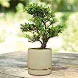 Bonsai Ilex Layer - 1 tree