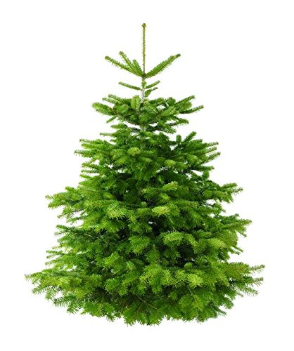 real-british-non-drop-nordmann-fir-3ft-8ft-christmas-tree-3ft-log-stand-fast-nationwide-delivery-bes