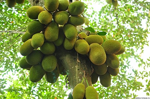 jackfruit-live-plant-6-10-tall-seedling-non-gmo-organic-healthy-strong-root-high-quality-live-plant