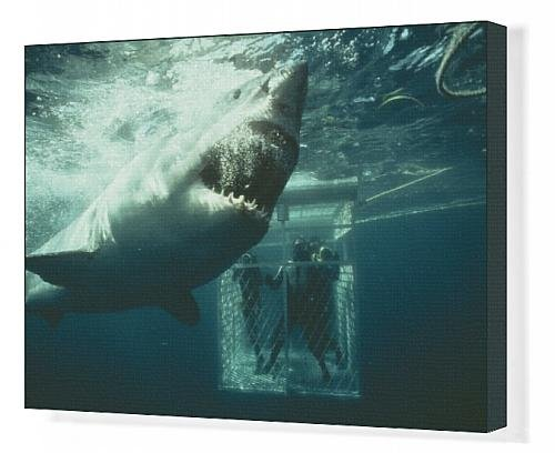 Canvas Print Of Great White / White / White Pointer Shark - A Scuba Divers In Ca