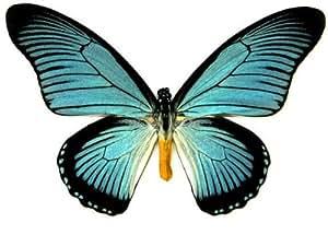 """Zalmoxis Butterfly Riker Mount (8"""" x 6""""): Prints: Posters & Prints"""