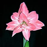 C-Pioneer Beautiful Plants Elvas Double Amaryllis HIPPEASTRUM Seeds - 2 Bulbs