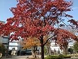 【ノーブランド品】 ハナミズキ 樹高0.3m前後 10.5cmポット /