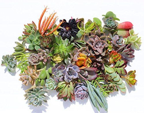 30 colorful succulent cuttings