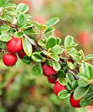 Trees By Post Cotoneaster Shrubs Plants (Cotoneaster horizontalis) x 1
