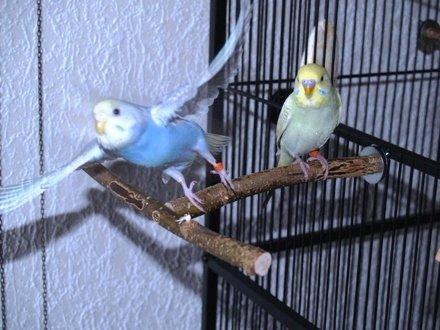 Anflughilfe / Anflugstange für den Vogelkäfig