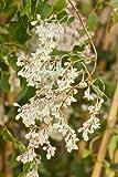 Fallopia baldschuanica (Russian vine, Mile-a-minute vine) 4 ltr pot