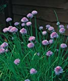 Herb - Chives Medium Leaved - Allium schoenoprasum - 400 Seeds - Economy Pack