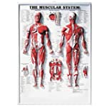 The Muscular System 3D Raised Relief...