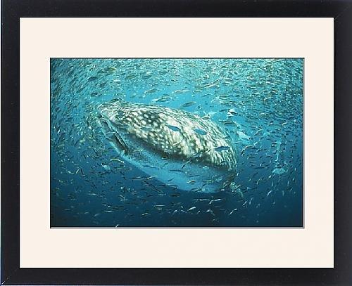 Framed Print Of Whale Shark - In Bait Ball