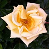Emily Gray Rambling Rose - BARE ROOT Rose - Rambler Climbing Rosa - GIFT PRESENT