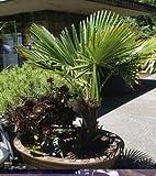 Trachycarpus wagnerianus (Minuature Chusan Palm) seeds