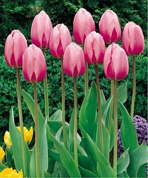 10 Darwin Hybird 'Pink Impression ' Tulip Flower Bulbs