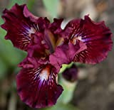 Seeds*Bulbs*Plants*&More Raspberry Tiger Standard Dwarf Bearded Iris Rhizome, Root, Plant