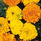 SeeKay Marigold Crackerjack - African type Appx 150 seeds