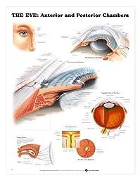 Human Eye - Anterior and Posterior Chambers Chart