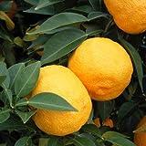 本柚子(ホンユズ)4~5号ポット[香り高い酢ミカンの代表 大実ユズ][柑橘・かんきつ類苗木]