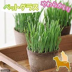 (観葉)猫草 ネコちゃん人気No.1(ペットグラス) 直径8cmECOポット植え(無農薬)(1ポット) 本州・四国限定[生体]