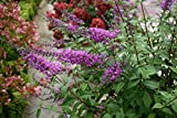 Proven Winners InSpired Violet Butterfly Bush (Buddleia) Live Shrub, Purple Flowers, 4.5 in. Quart