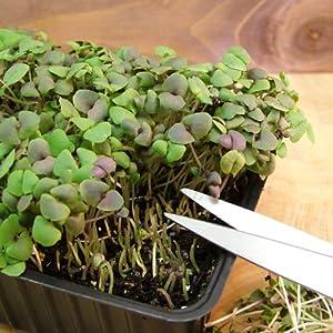 Suttons Seeds 184724 Speedy Veg Basil Dark Opal Seed