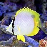 (海水魚)スポットフィンバタフライフィッシュ(1匹) チョウチョウウオ 本州・四国限定[生体]