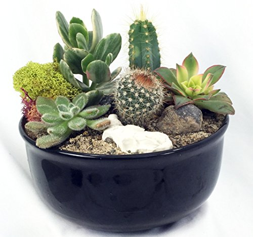 new-mexico-steer-head-cactus-succulent-garden-black-glazed-pot-easy-to-grow