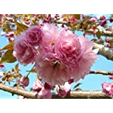1 Kwanzan Flowering Cherry Tree