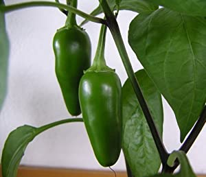 Fooled You Jalapeno Pepper 4 Plants - Mild/Great Flavor