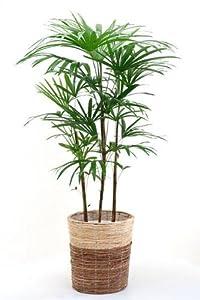 【鉢カバー付】棕櫚竹8号鉢(シュロチク)