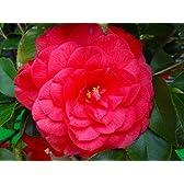 紅い花色♪ ベニオトメツバキ☆ 樹高1.0m前後 大きな花を咲かせます☆